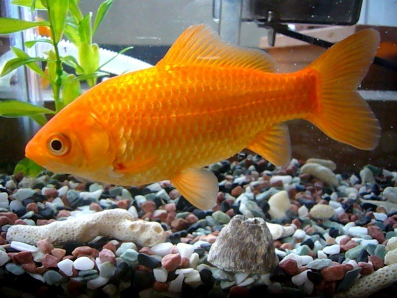 Image Gallery Male Goldfish