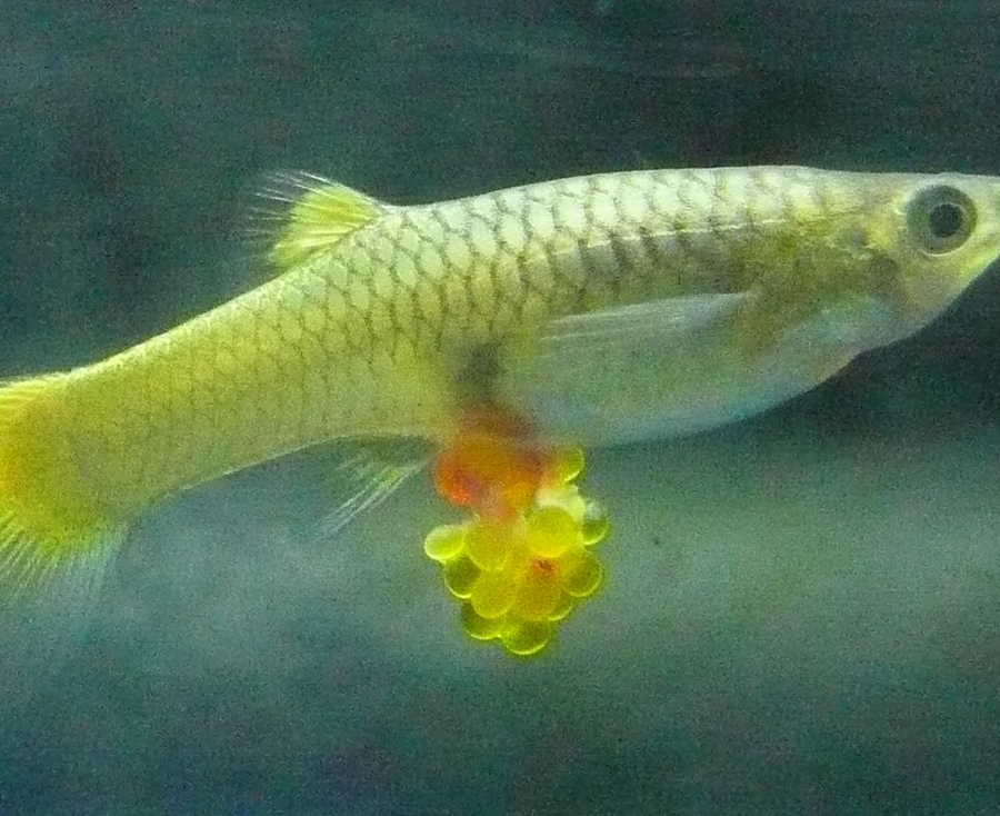 I have a female blonde guppy who has been agitated for for Pregnancy and fish