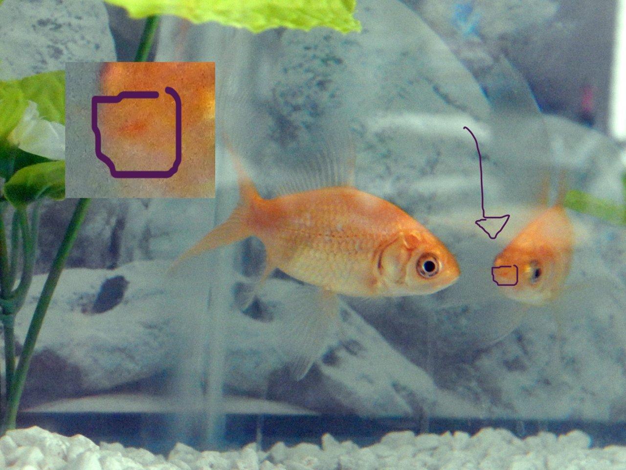 Fish aquarium red spots - Fish Aquarium Red Spots