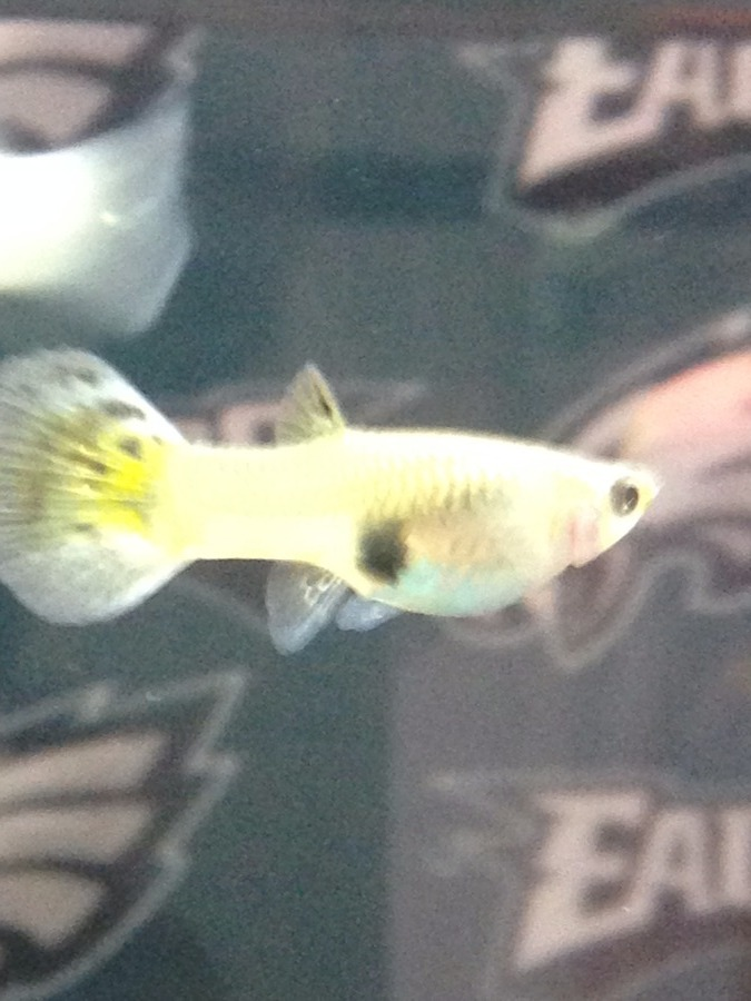 Is my guppy pregnant and if so how far along is she for How long is a guppy fish pregnant