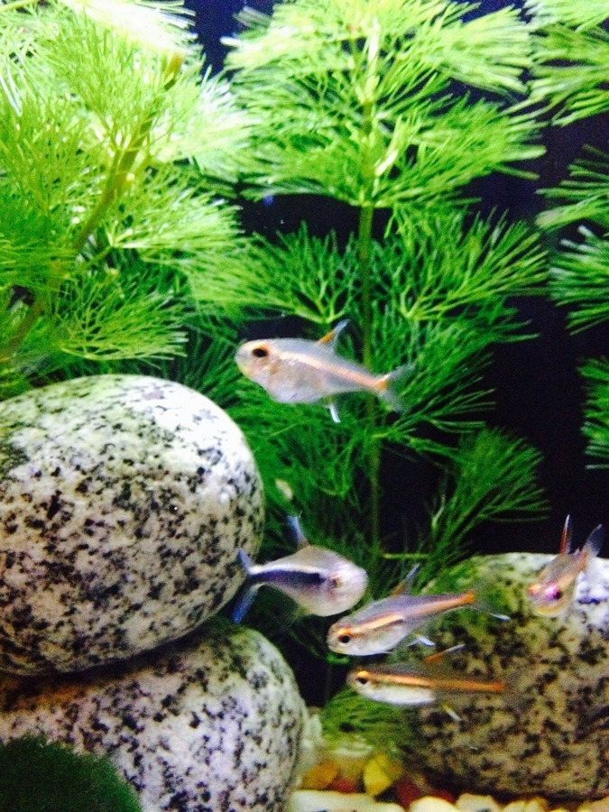 Hi - So I've Had Four Glowlight Tetra For 3 Months Now ...