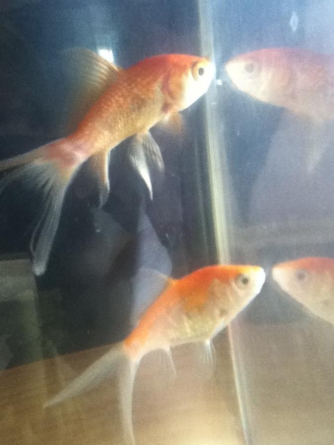 علت سفیدی ماهی قرمز عید