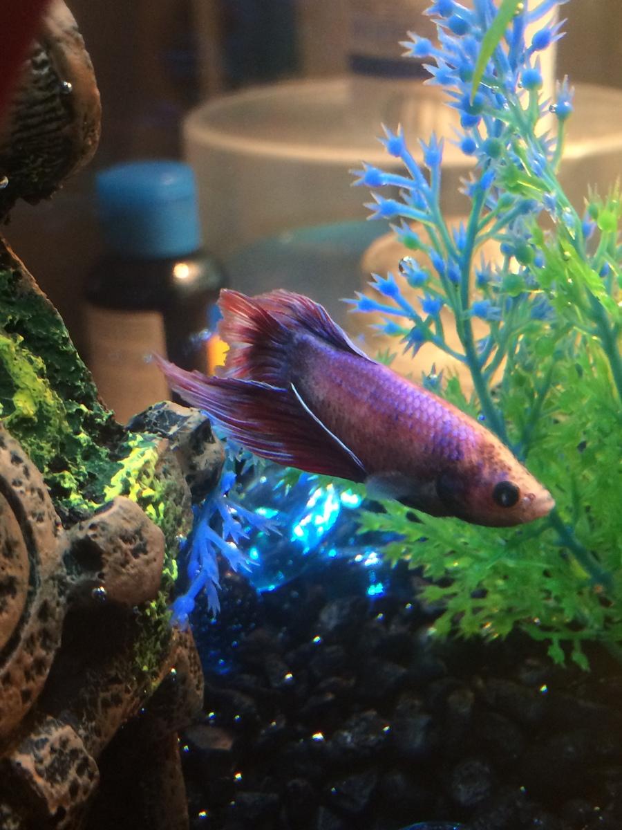 Betta Fish Looks Fuzzy My Aquarium Club