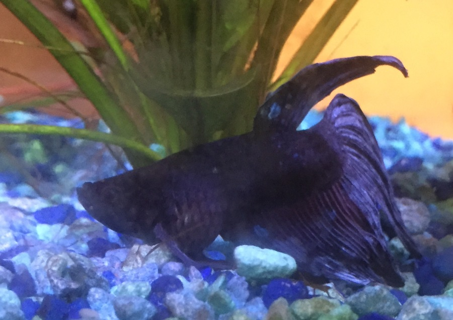 My betta fish potato has a bloated stomach but he is not for Bloated betta fish