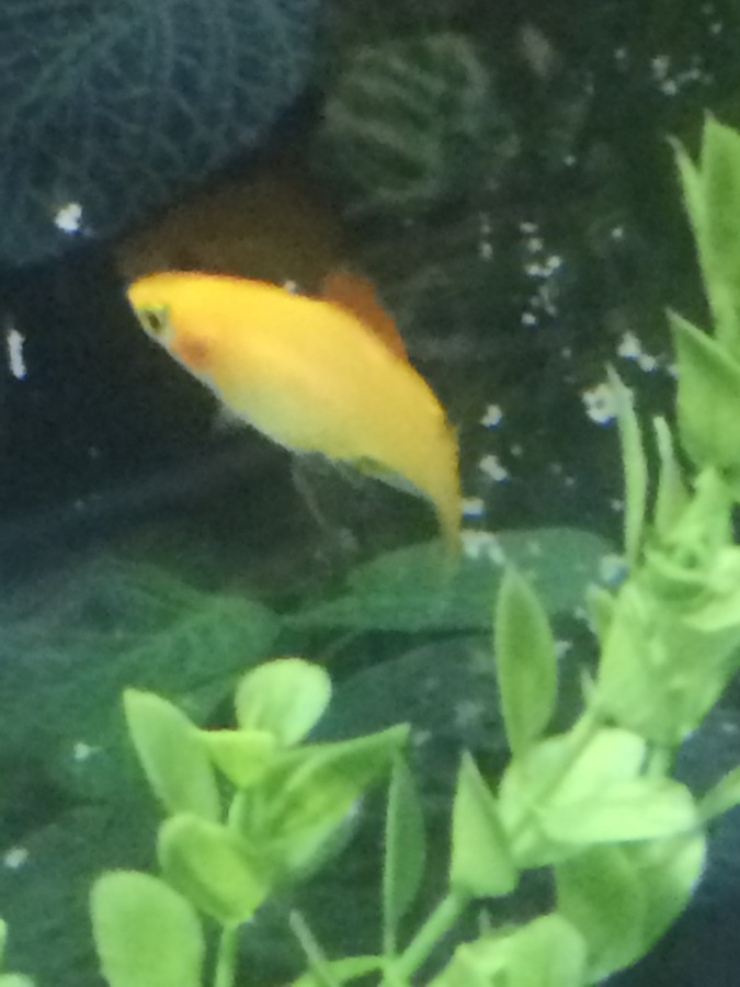 What kind of fish is this and is it pregnant also i have for What kind of fish do i have