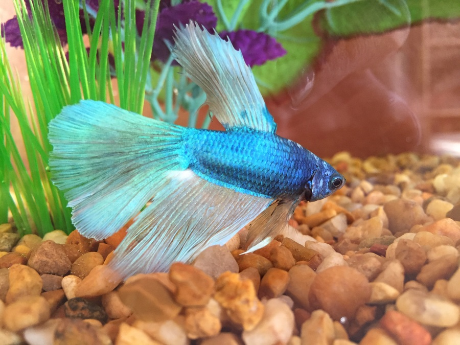 What kind of betta do i have my aquarium club for Types of betta fish petco