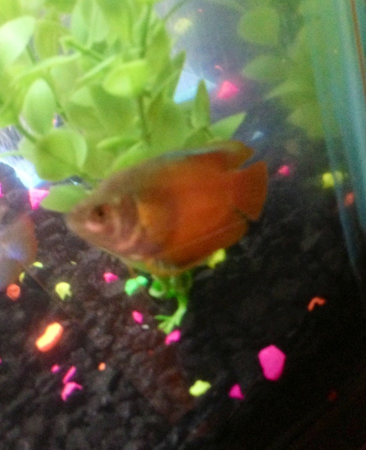 More ich i am treating my tank for ich my gouramis for How do i treat ich in my fish tank
