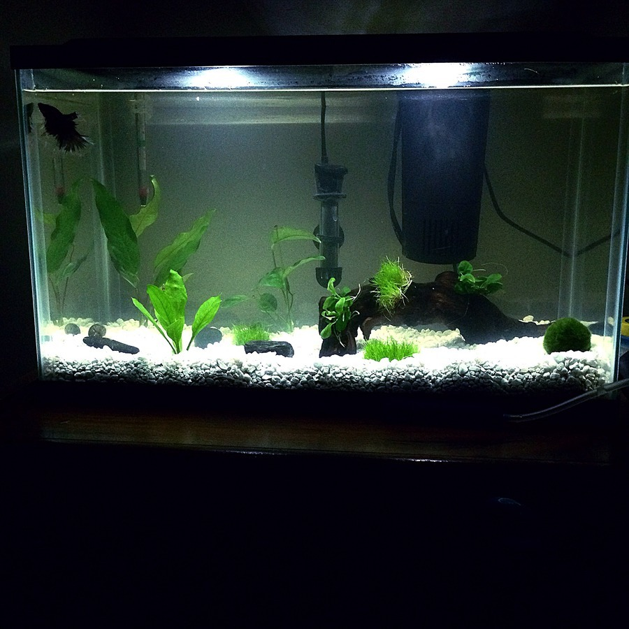 Freshwater aquarium fish eat snails - Will My Snail Eat My Live Plants Here S A Pic Of The Tank Lemme Know What You Think Too