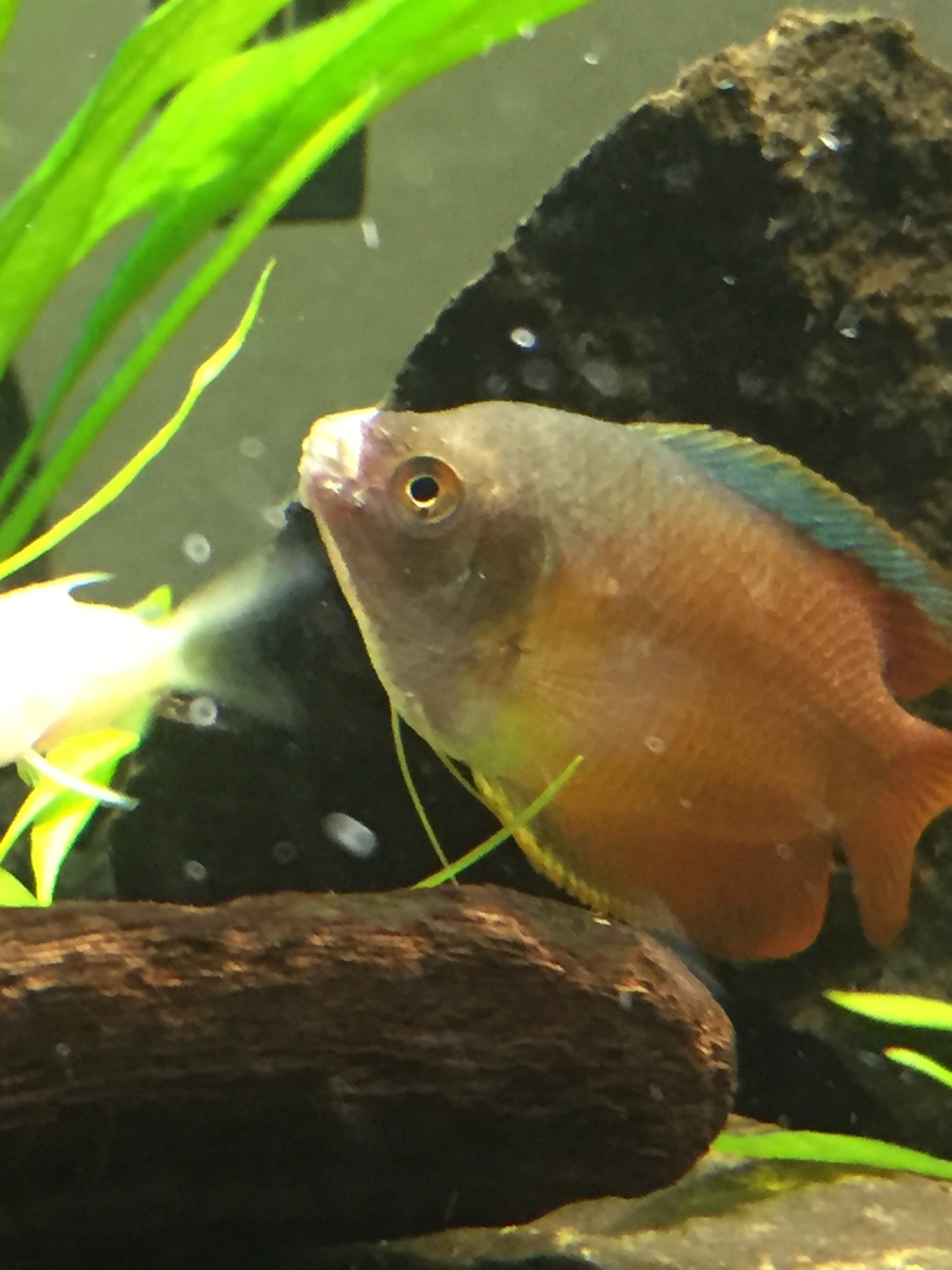 I have a gourami with a white fungus over its lips what for White fungus on fish