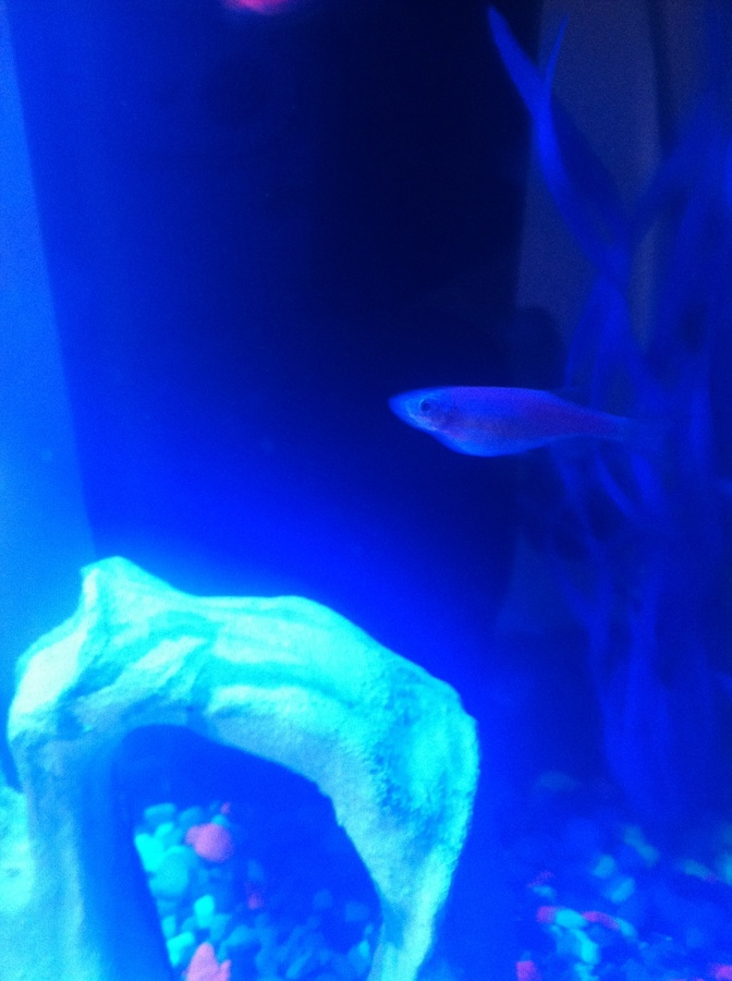 I Am Need To No If My Daughters Glofish Is Pregnant Or ...