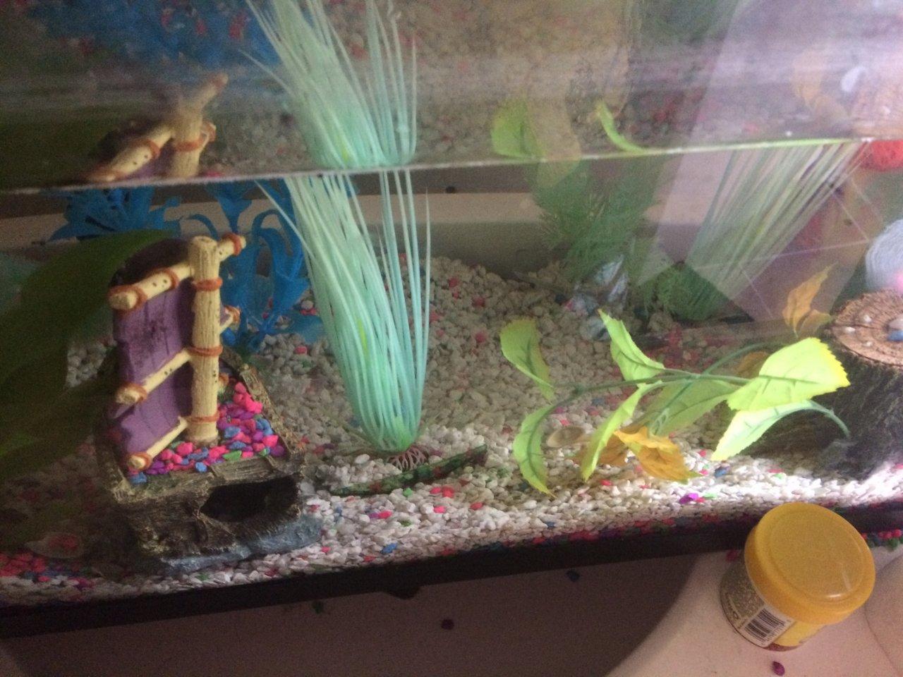 Betta fish stays at bottom