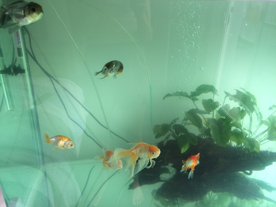 Cloudy aquarium water my aquarium club for My fish tank water is cloudy