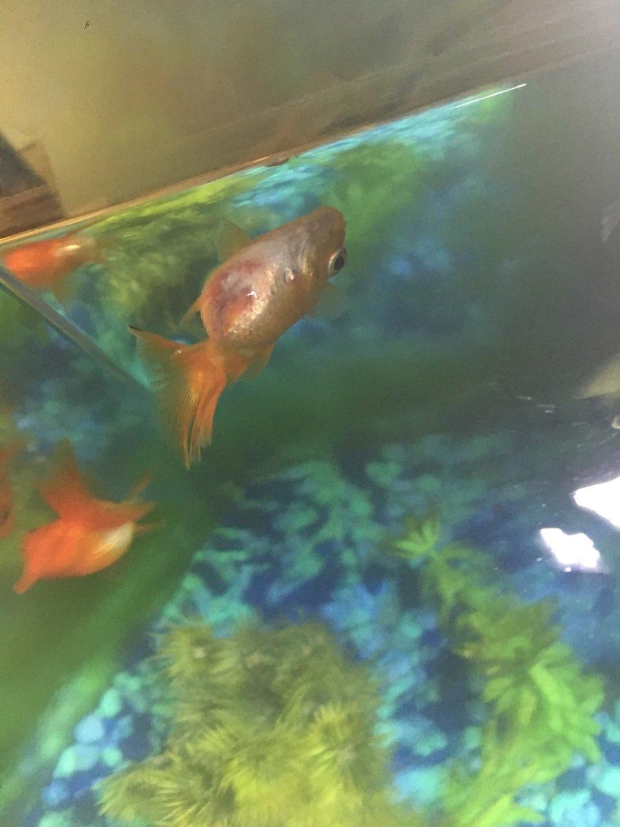Fish aquarium red spots - Goldfish Upside Down Sideways With Red Spots On Belly My Aquarium Club