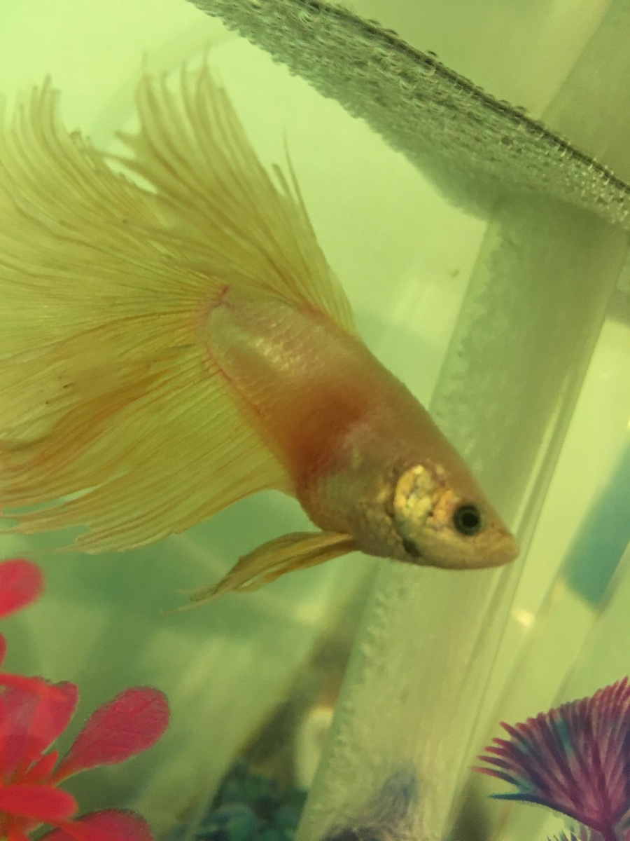 Betta fish is turning red and it very bloated my for How to euthanize a fish