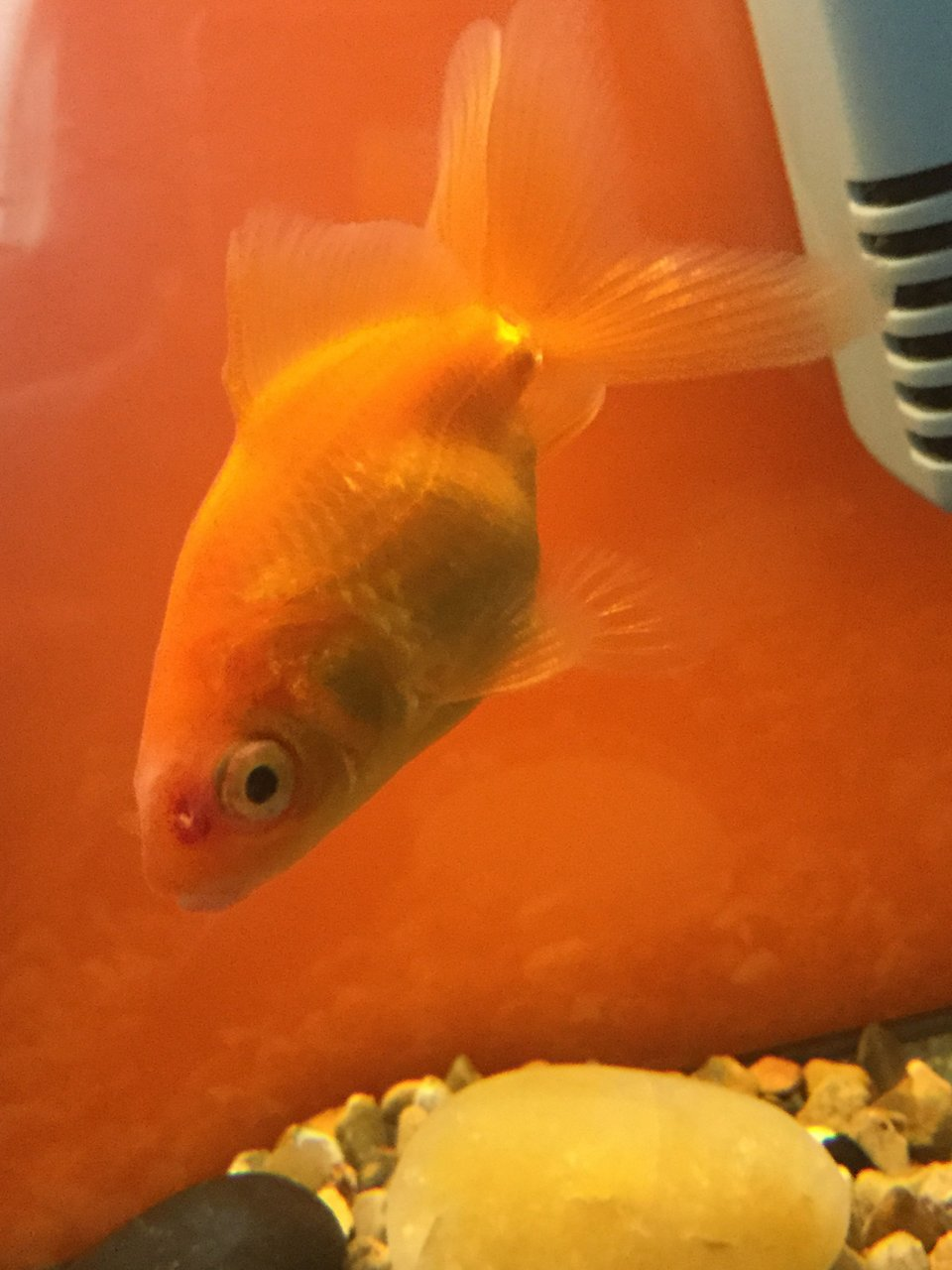 Fish aquarium red spots - My Fish Has Hit A Red Spot On Him Will It Go Away