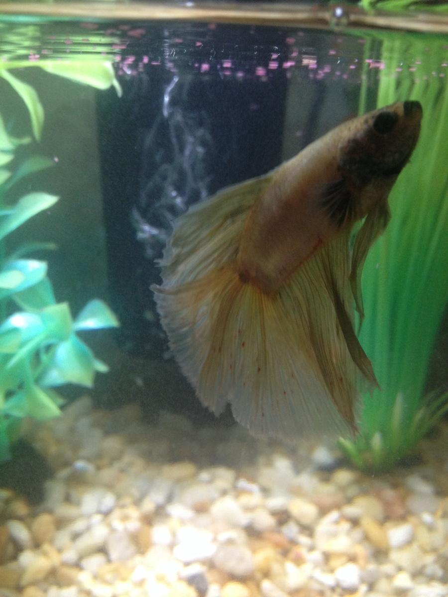 Fish aquarium red spots - It Is Heated Its A 2 5 Gallon