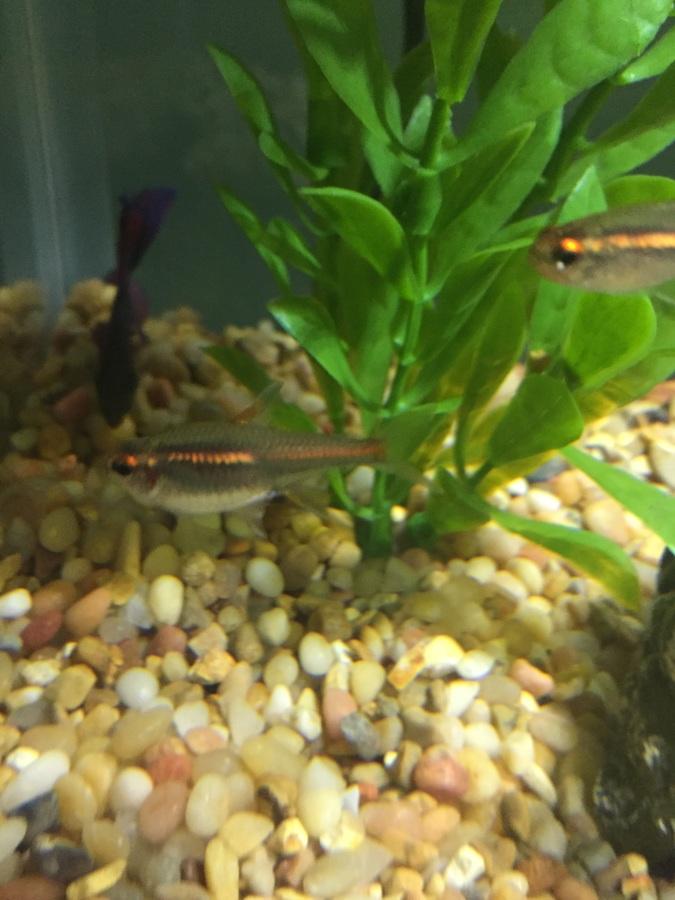 Is My Glowlight Tetra Pregnant? | My Aquarium Club