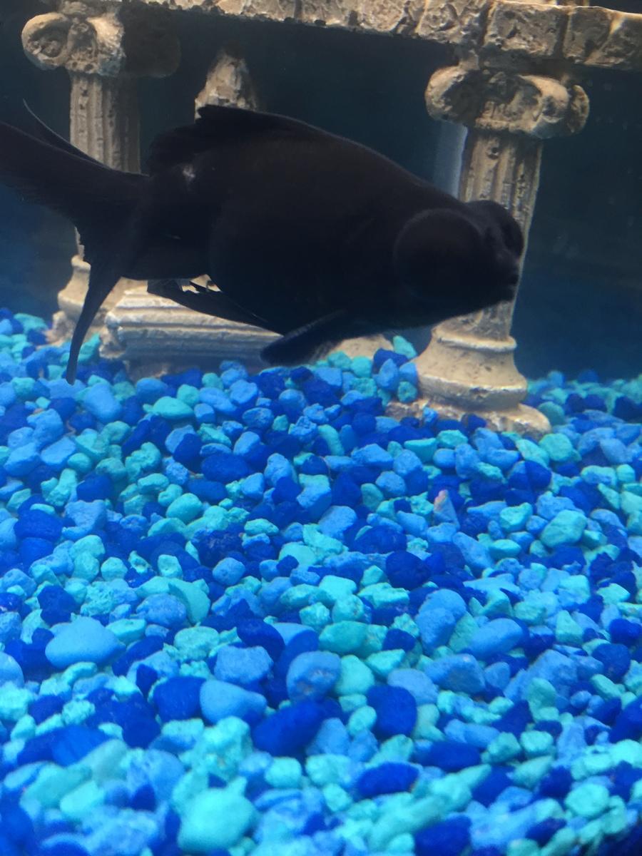 Freshwater fish cloudy eyes - Black Moor Has A Cloudy Film Over His Left Eye My Aquarium Club