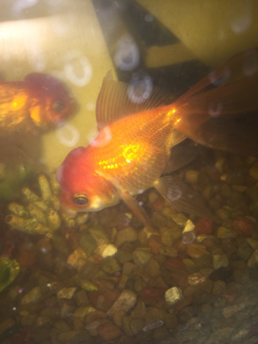 Fish aquarium white spots - Strange White Spots Developing On Top Of My Fish S Head My Aquarium Club