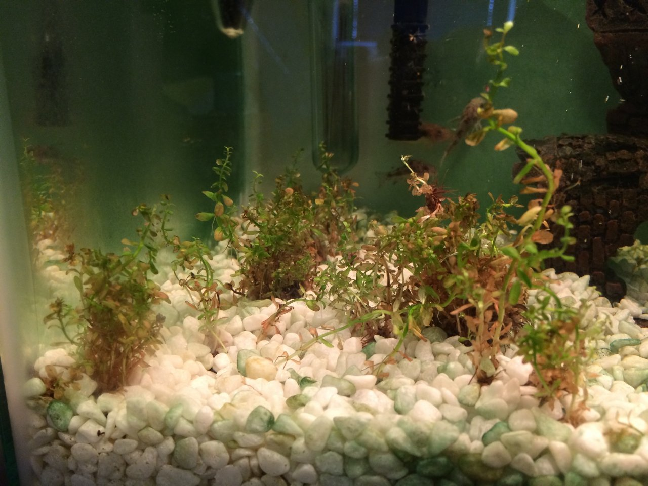 Fish in my aquarium are dying - Edit Oh Also The Plants Are Rotala Plants