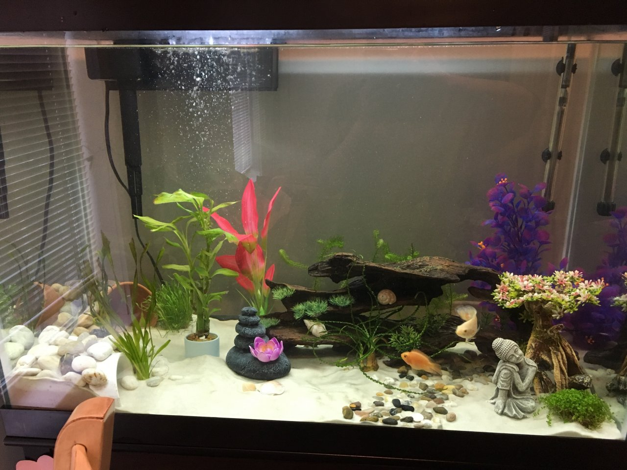 Fish in my aquarium are dying - I Have A Small 2 2 5in Parrot Fish In With My Albino Oscar Tiger Fish 2 My Aquarium Club
