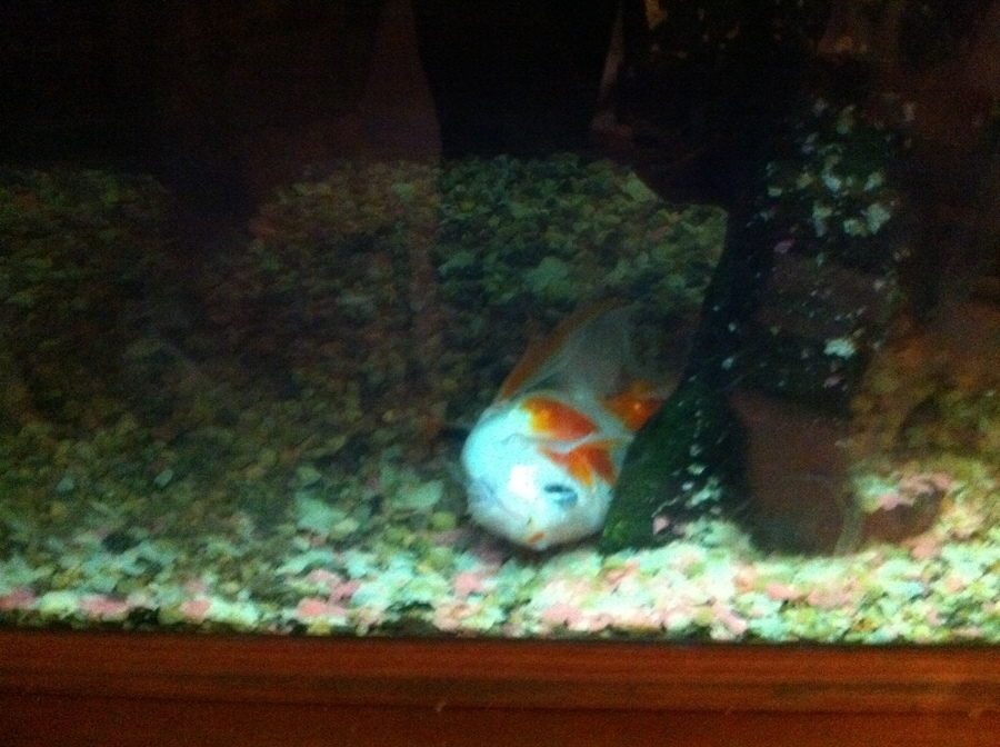 is our goldfish dying or can he be saved laying on side