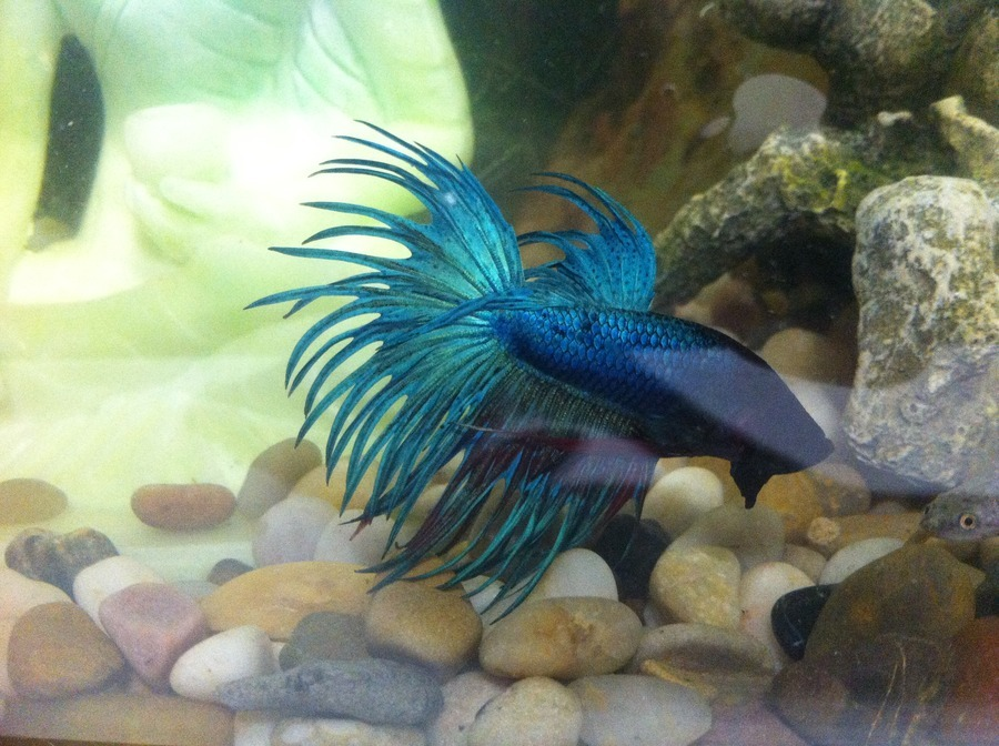 Crowntail Betta Sleeps All Day Not Eating And Fins Are