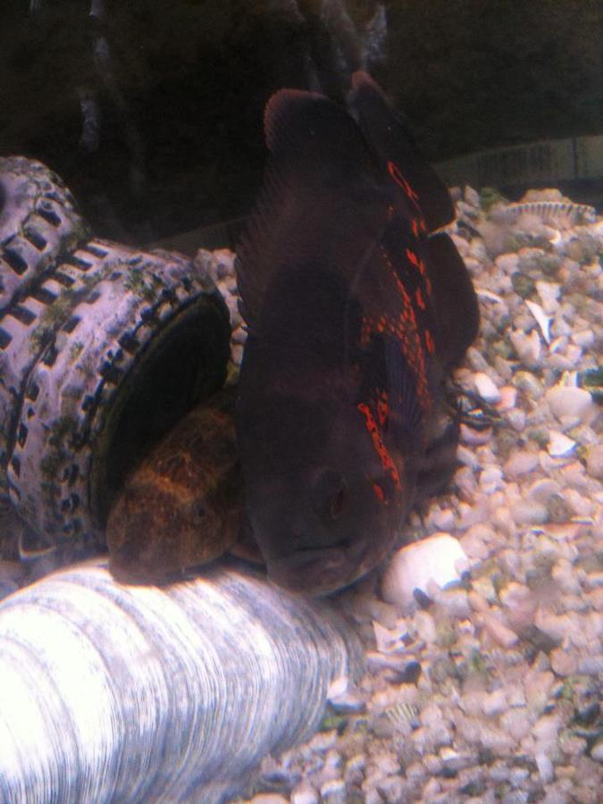 What is the best bottom feeder for uneaten food and algae for Bottom feeder aquarium fish