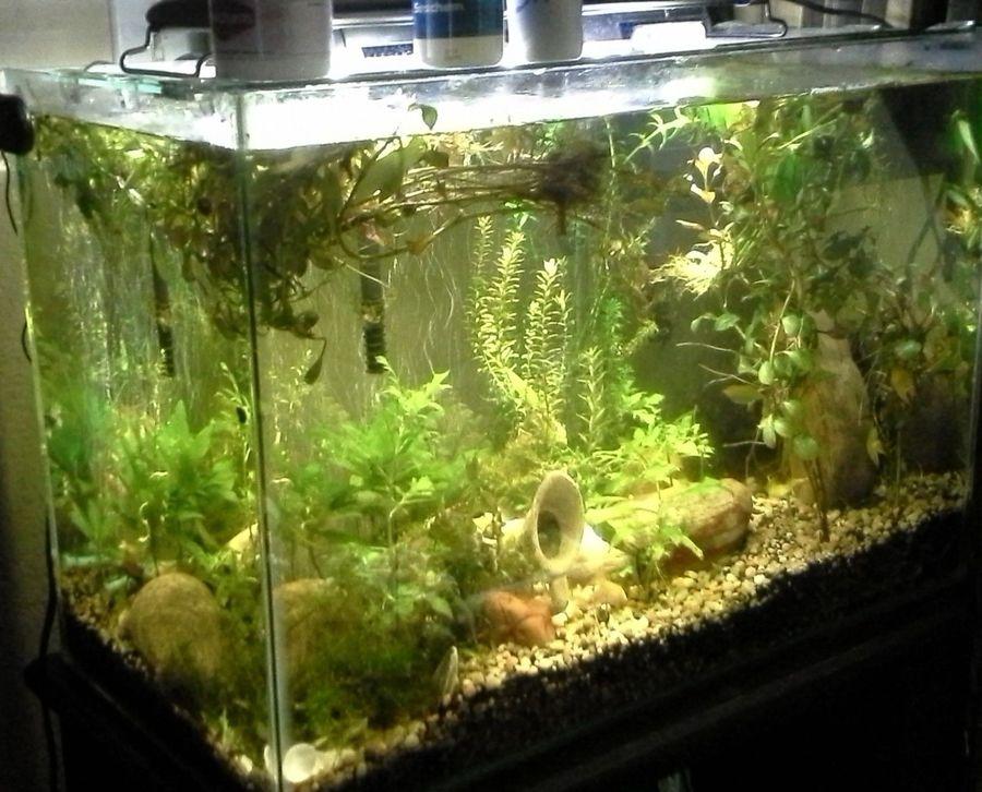 Duckweed Algae And Snails Forever My Aquarium Club