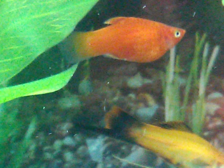 Very Pregnant Platy Refuses To Drop! | My Aquarium Club