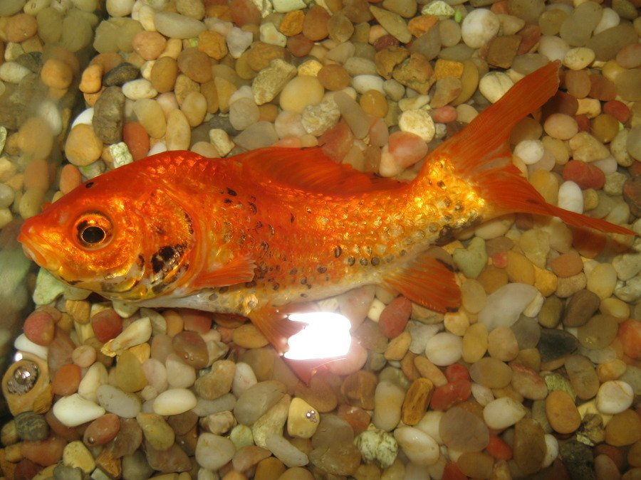 How to prevent your fish from dying of ammonia poisoning for High nitrite in fish tank