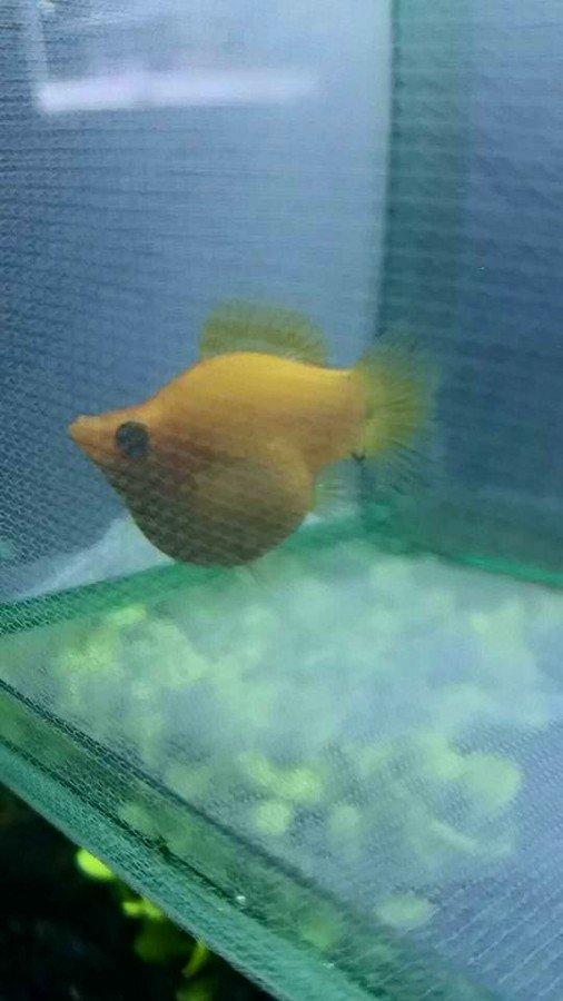 New balloon belly mollies my aquarium club for Balloon molly fish