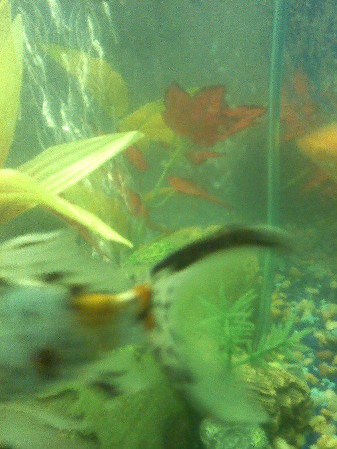 Ich or fungus my aquarium club for White fungus on fish