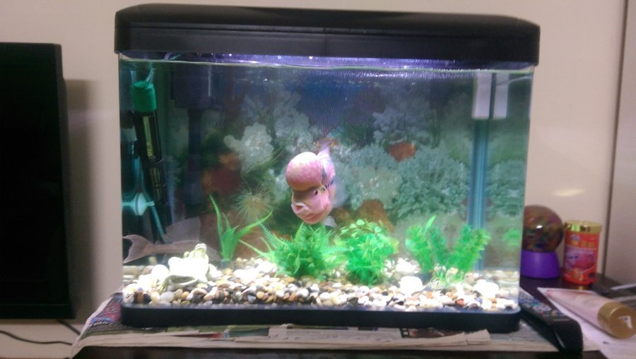 I would like to know if my flowerhorn is healthy and how for Fish tank size calculator