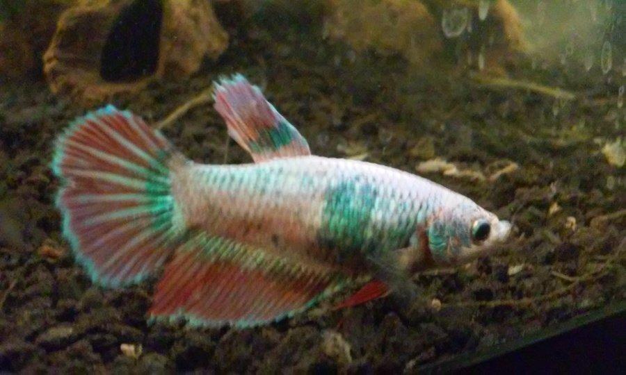 Petsmart betta troubles my aquarium club for Betta fish at petsmart