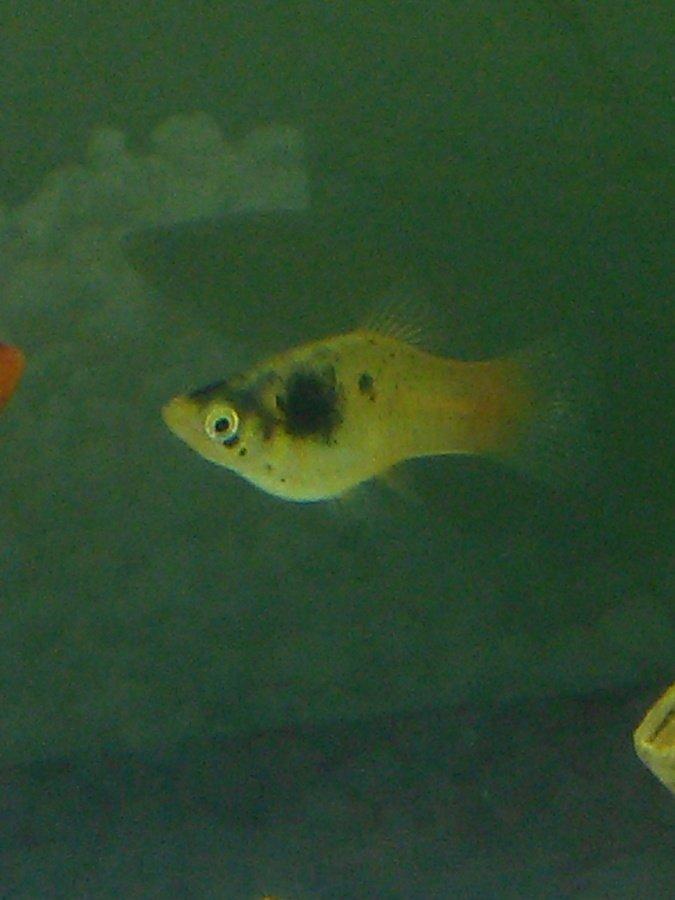 Platy pregnant my aquarium club for Platy fish breeding