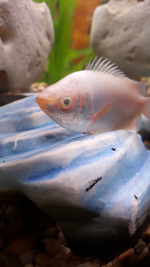 I have a white kissing gourami that all of the sudden has for Why is my fish tank so cloudy