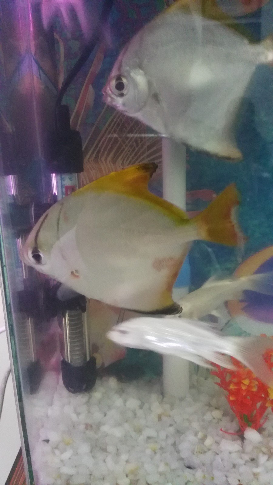 Fish in my aquarium are dying - My Angel Fish Has Red Blotches Is It Hurt Or Dying