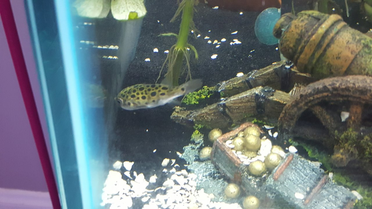 Fish in my aquarium are dying - Help My Green Spotted Puffers Are Dying