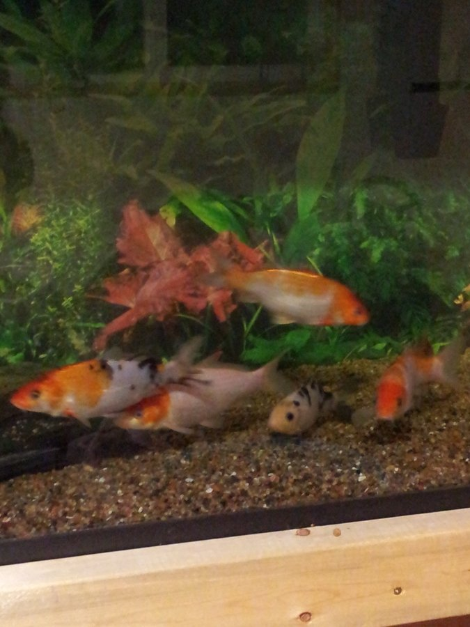 Wanting to build a koi pond in the basementwith a 13x13 for Goldfish pond liner