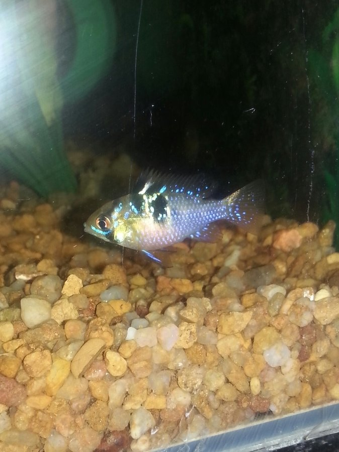 Sexing Blue Ram Cichlids My Aquarium Club