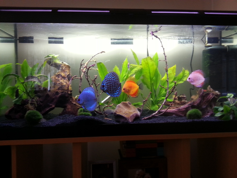How to keep discus in a community tank my aquarium club for Keeping discus fish