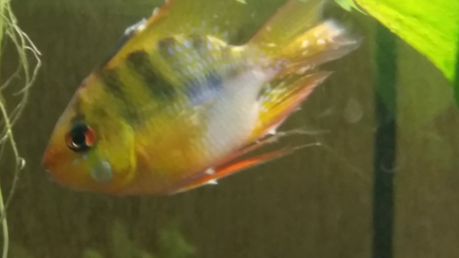 Sick fish help fungus bacteria this is my first cichlid for Fungus in fish tank
