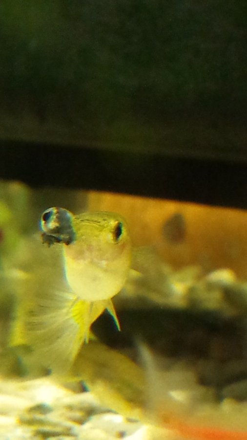 Bulging eye with black stuff coming out my aquarium club for Fish pop eye