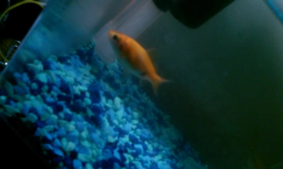 I dont know what kind of fish i have and if its female or for What kind of fish do i have