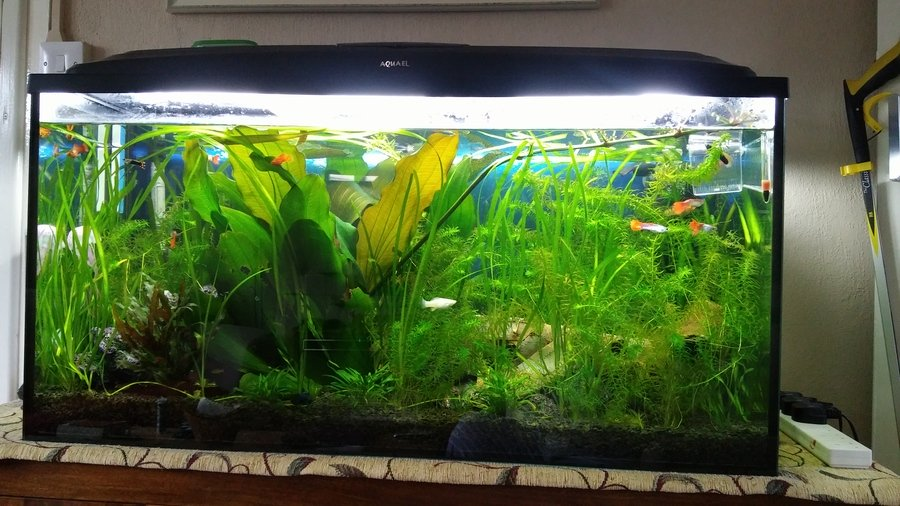 Dalmation Mollies Keep Dying  Tropical Fish Forums