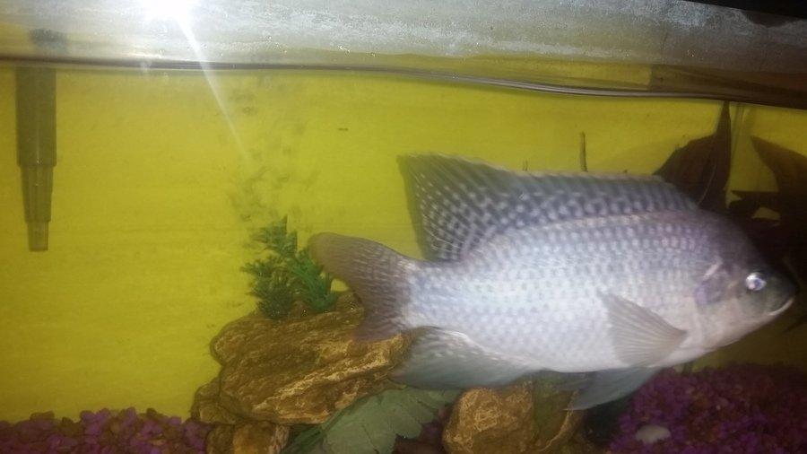 Tilapia my aquarium club for Tilapia aquarium