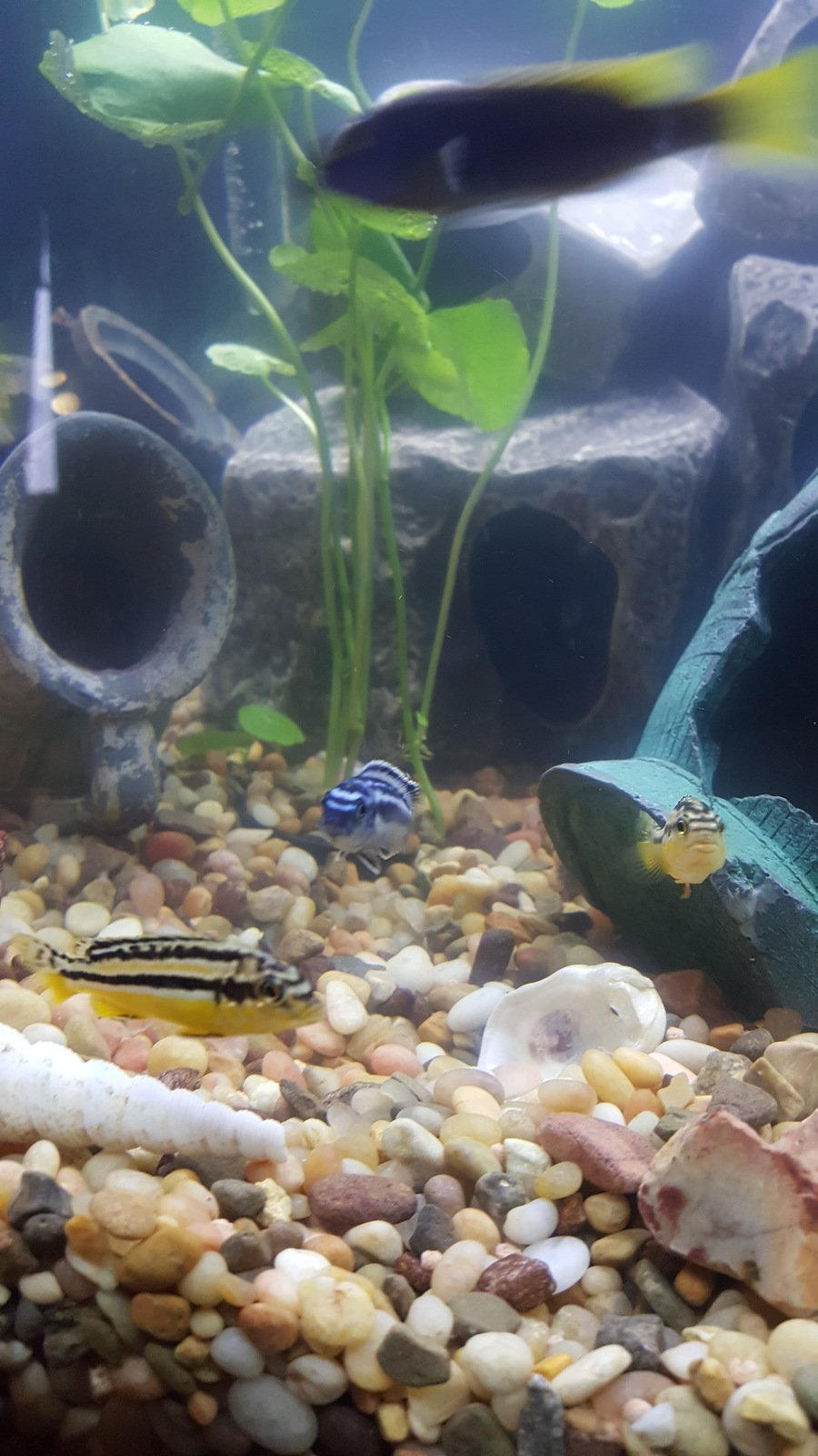 Fish for first tank - Any Ideas On The Kinds Of Cichlids I Have First Tank Ive Had In Years And Just Got Some New Fish