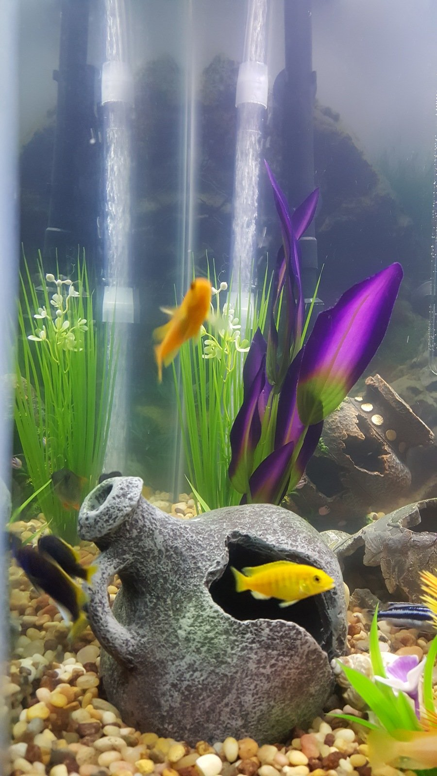 Fish for first tank - Im New To African Cichlids I Had One Once With Some Piranhas But Never A Cichild Only Tank