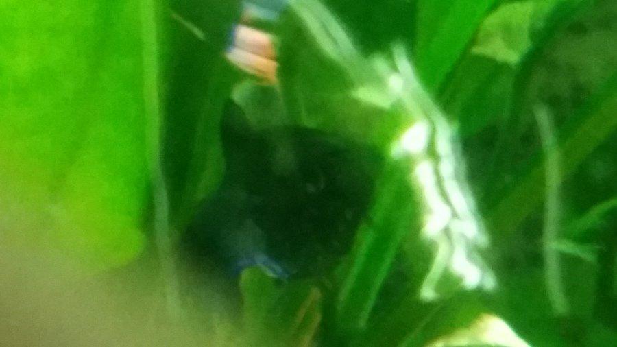 Mollie problems my aquarium club for Fish antibiotics petco